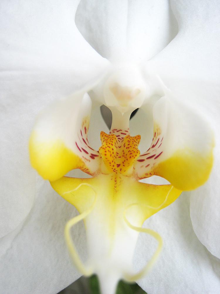 • tell a story • Blumen • weisse Orchideen