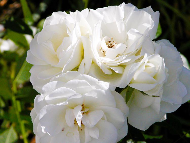 • tell a story • Blumen • weisse Rosen im eigenen Garten