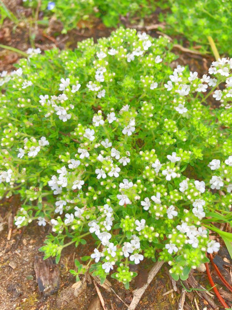 • lecker • Himbeermuffins und einen Blick in meinen Garten • weisser Thymian