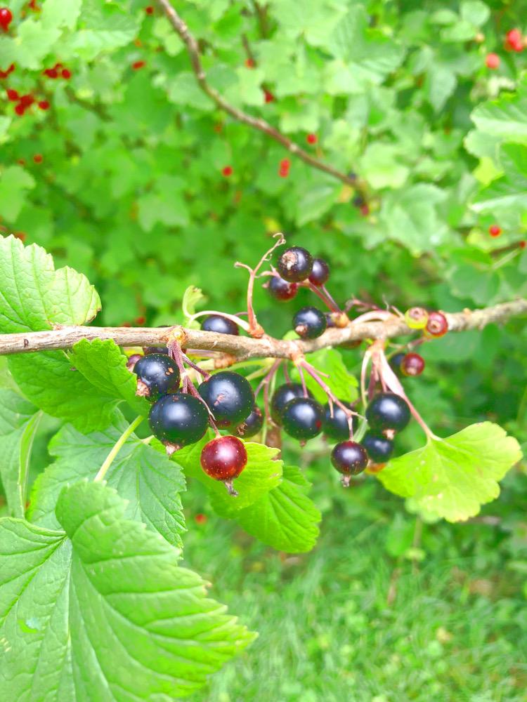 • lecker • Himbeermuffins und einen Blick in meinen Garten • schwarze Johannisbeeren