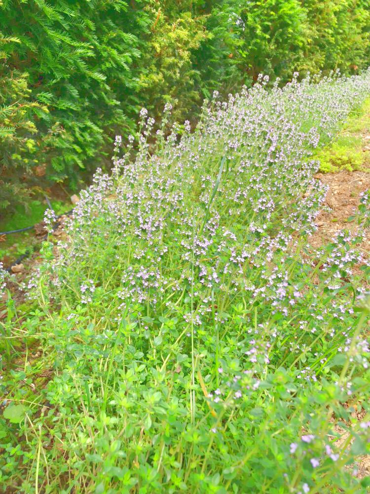 • lecker • Himbeermuffins und einen Blick in meinen Garten • Thymianmeer...