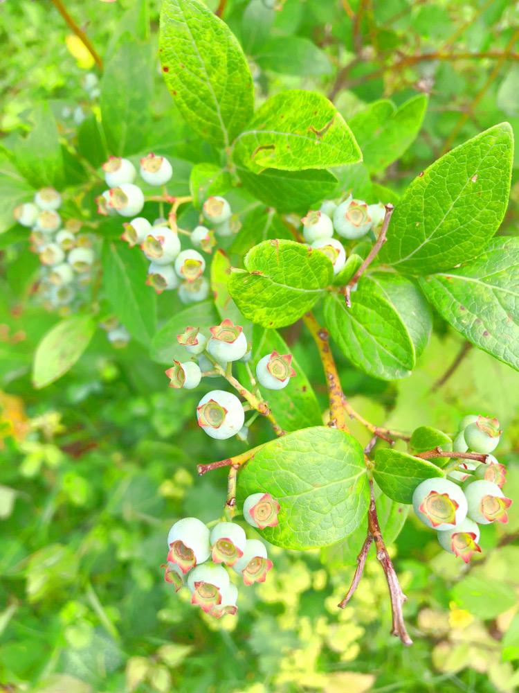 • lecker • Himbeermuffins und einen Blick in meinen Garten • Heidelbeeren